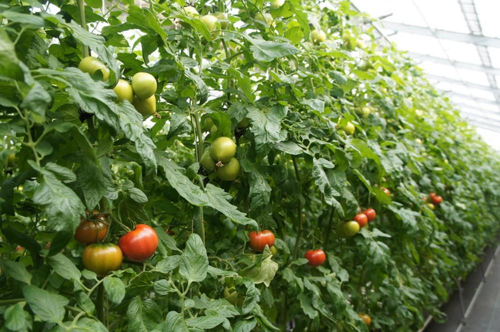 Xe limousine 9 chỗ đi đà lạt tham quan vườn cà chua