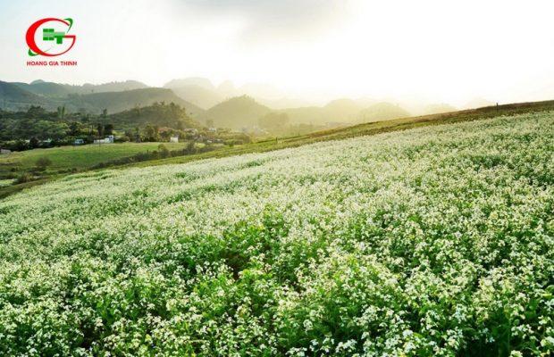 Du lịch Đà Lạt tháng 12 hoa cải trắng